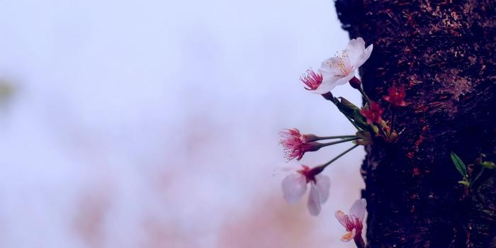 一棵开花的树